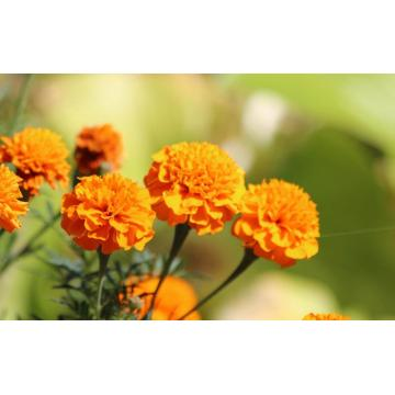 Marigold Lutein Super Lutein for Eyes Supplements