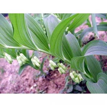 Top grade Polygonati Rhizoma Huang jing Sealwort Polygonatum