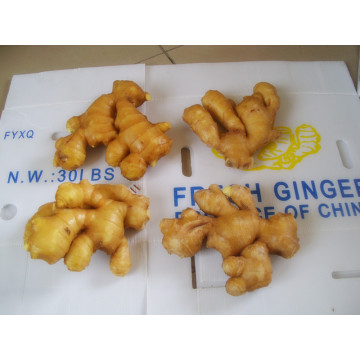 fat ginger fresh ginger factory