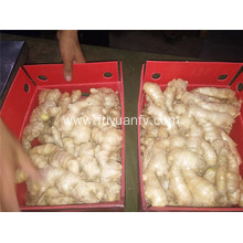 250g air dired ginger