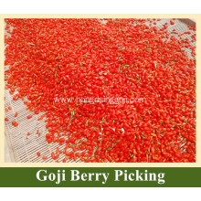 New Goji Berry Tree Goji Berry