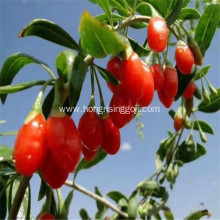 Low Pesticide Dried Ningxia Goji berry