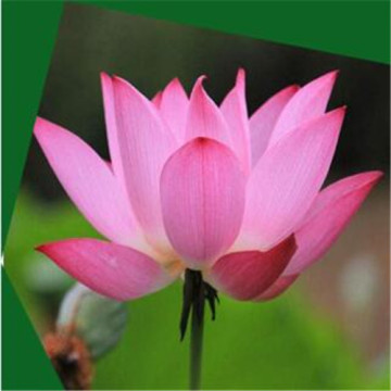 Artificial lotus  plant pot