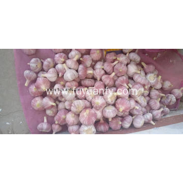 Garlic new crop start on next week