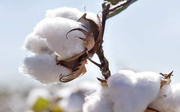 Cottonseeds oil processing