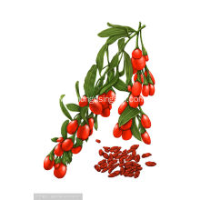 Goji Berry free Samples Organic Goji Berry Wolfberry