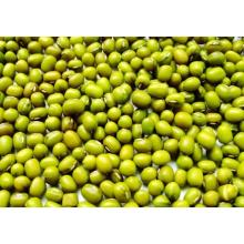 Factory made hot-sale for Green Mung Beans Fresh Green Mung Beans supply to Bermuda Supplier