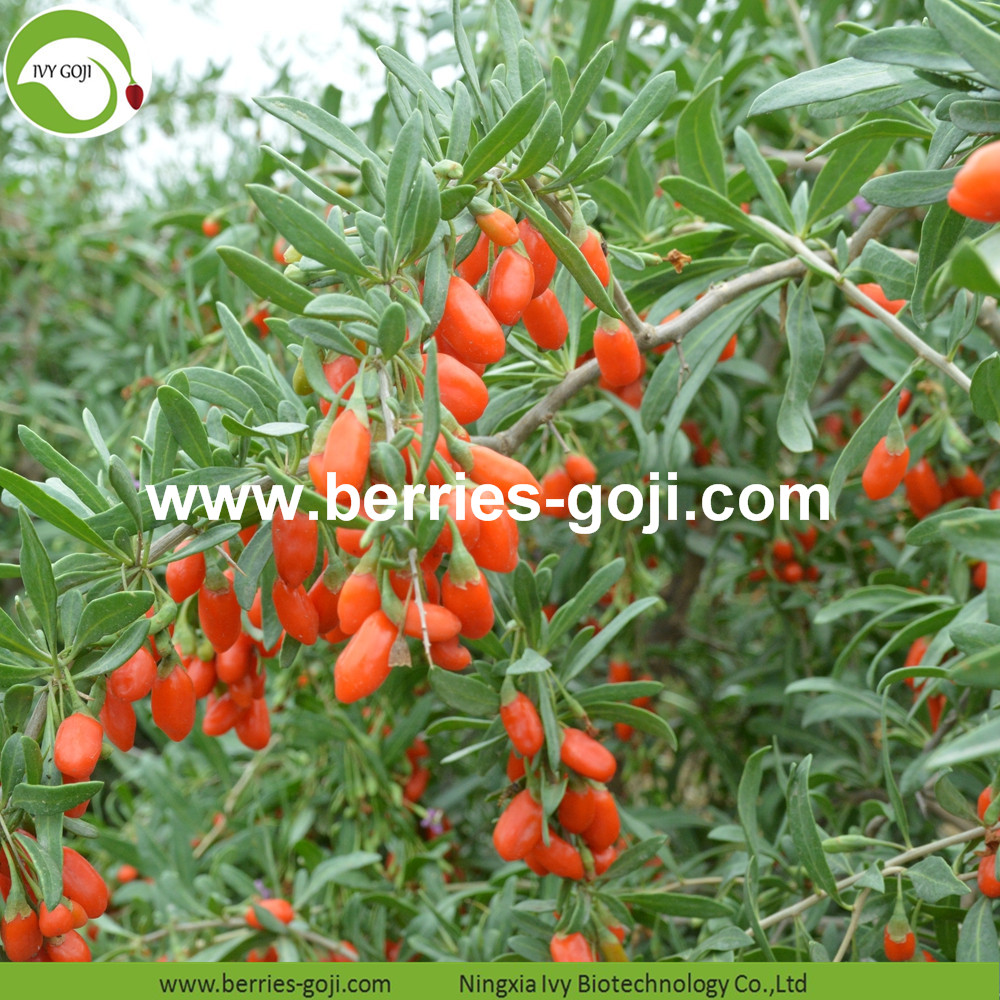Conventional Goji Berries