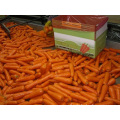 Beautiful Appearance Fresh Carrot In Good Quality