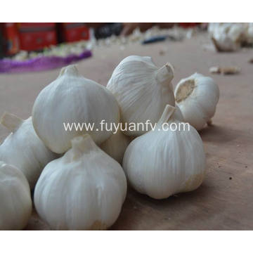 6.0cm and up white garlic