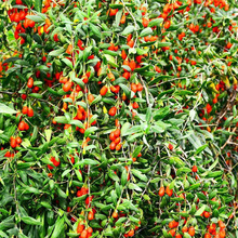 10 Years manufacturer for China Organic Red Goji Berry 370 Specifications,Bulk Organic Goji Berry, Manufacturer NingXia AA Organic Bulk Dried Wolfberry Low Price supply to Mauritania Factory