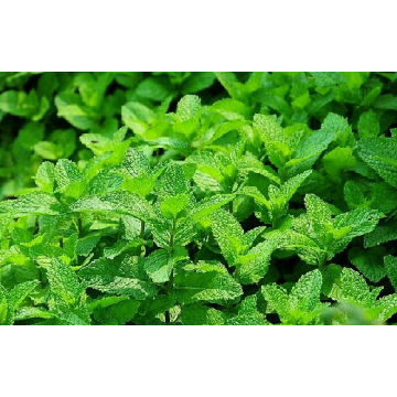 Peppermint Essential Oil 30ml