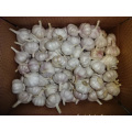 Normal Fresh White Garlic Best Price