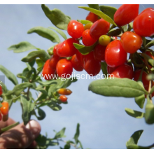 2017 new crop BRC Certificated goji berry