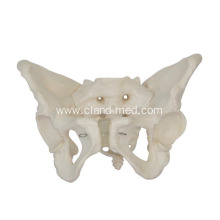 Purchasing for Human Heart Model Adult Female Pelvis export to Colombia Manufacturers