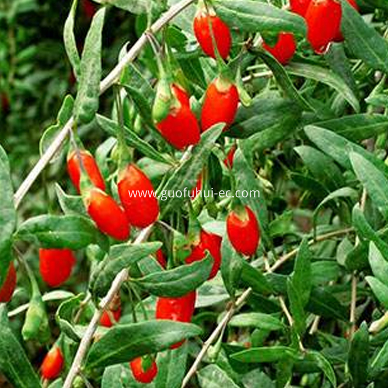 Organic Red Goji Berry 220 Specifications