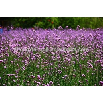 100% Pure Therapeutic Grade Verbena Essential Oil