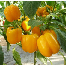 High Quality for Yellow Bell Pepper Seeds, Red Bell Pepper Seeds, Green Bell Pepper Seeds, Sweet Pepper Seeds Manufacturer in China Yellow F1 hybrid bell pepper seeds supply to Greenland Manufacturers