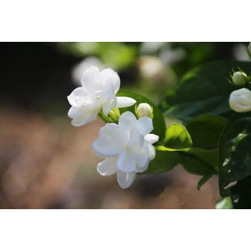 Jasmine Absolute Essential Oil 30ml