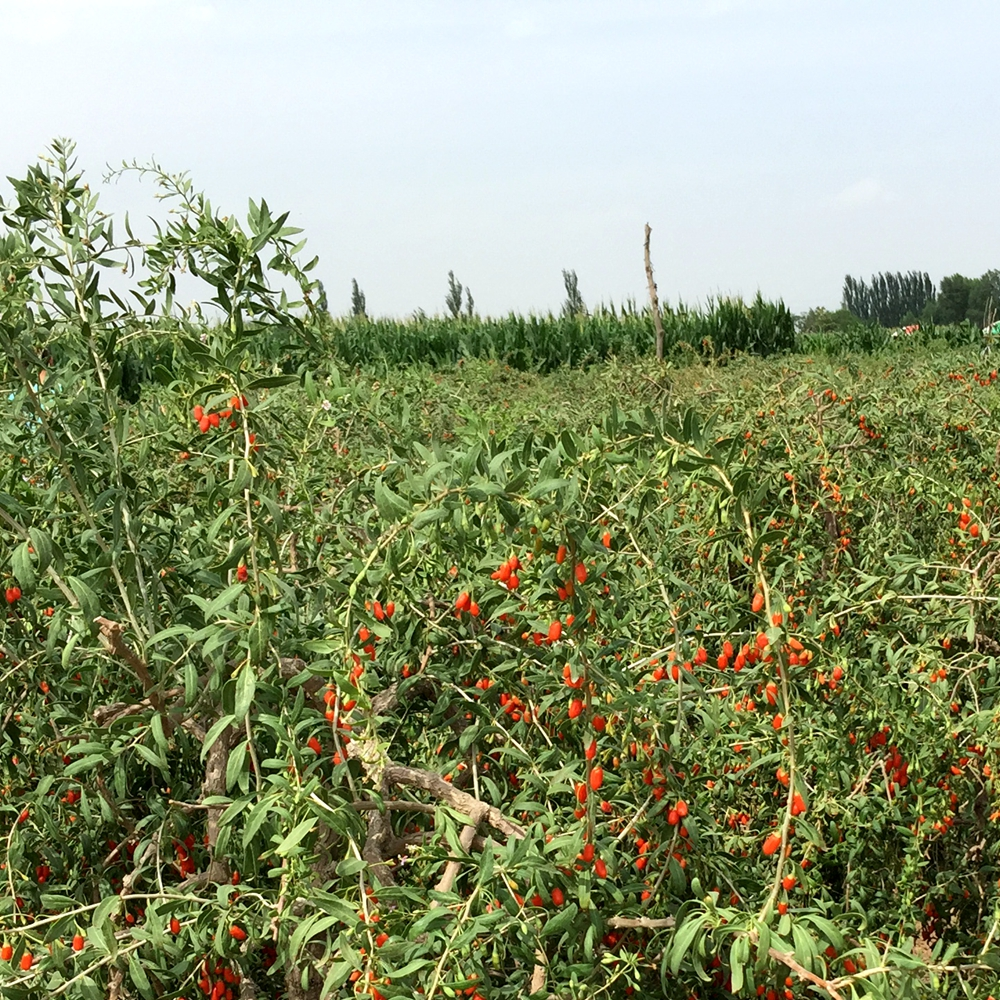 Size 350 Conventional Goji Berry