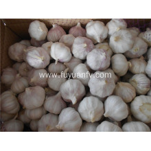 5.0-5.5CM normal white garlic