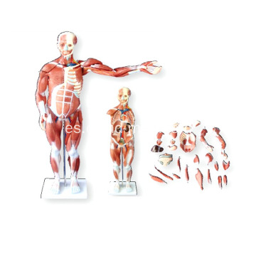 MODELO MUSCULAR HUMANO 80CM MACHO (27PARTS)