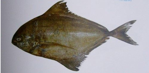 Sea Frozen Black pomfret Whole Sale