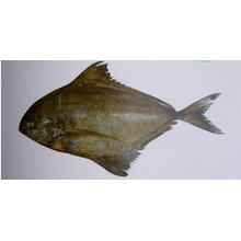 China for Delicious Frozen Fishes Mix Black Pomfret Whole Sale supply to Argentina Importers