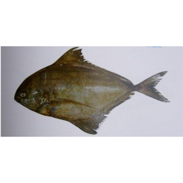 Black Pomfret Whole Sale