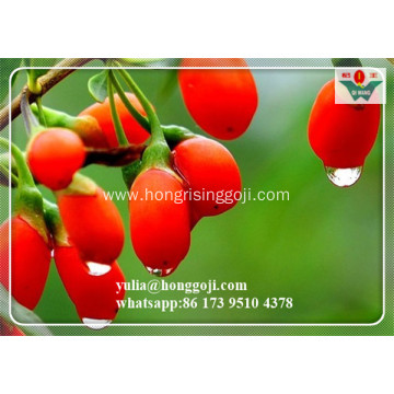 2018 New organic dried goji berries