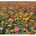 Beautiful Zinnia Flower Sale
