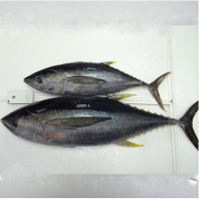 Whole Round Yellow Fin Tuna