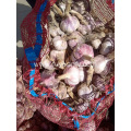 Fresh Garlic are staring on June.
