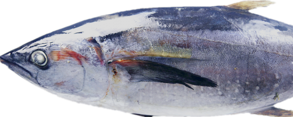 Whole Round Tuna in Good Quality