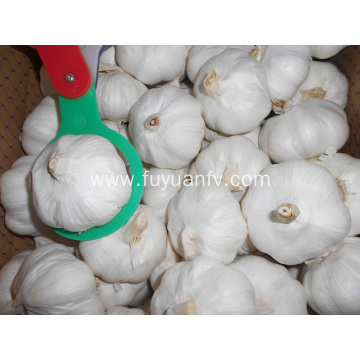Fresh garlic with big size