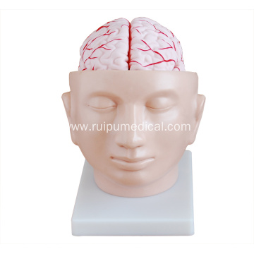 Brain Model with Arteries on Head