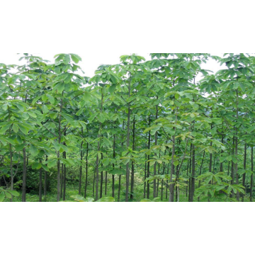 Top quality Magnoliae Officinalis Cortex Hou po