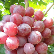2019 New Red Grapes