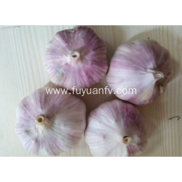 New crop normal white garlic