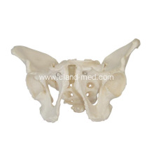 China for Liver Model Adult Male Pelvis export to Falkland Islands (Malvinas) Manufacturers