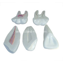 Customized for Life-Size Heart Model Expansion Model of Human Teeth supply to Falkland Islands (Malvinas) Manufacturers