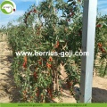 Wholesale Super Food Dried Wolfberry Price