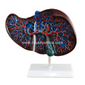 Human Liver Structure Model