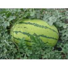 100% Original Factory for Watermelon Seeds Hybrid watermelon seeds for planting supply to Aruba Manufacturers