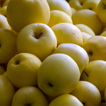 Hot selling attractive price for Golden Delicious 80 Specifications,80 Specifications Golden Delicious,NingXia Sweet Golden Delicious Manufacturers and Suppliers in China NingXia New Fresh Middle Size Golden Delicious Price export to Jordan Wholesale