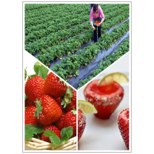 Chinese Professional for Canned Juice strawberry Price of Frozen strawberry export to Mauritania Importers