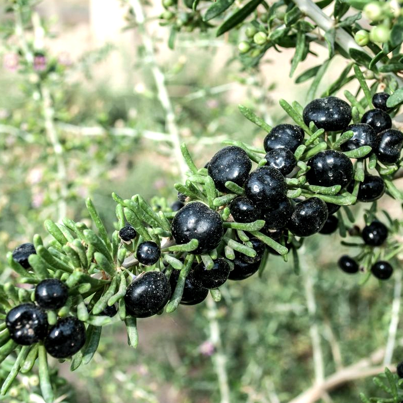Medium Black Dried Wolfberry