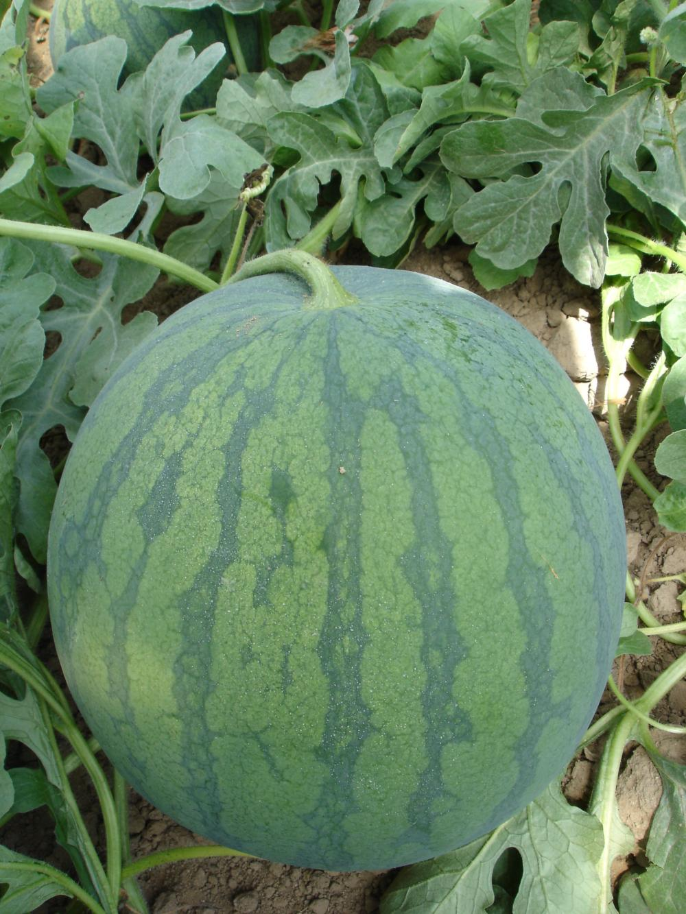 Seedless Watermelon Seeds for Planting