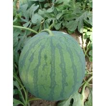 F1 hybrid seedless watermelon seeds  for Sale