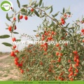 Wholesale Nutrition Natural Organic Dried Wolfberry